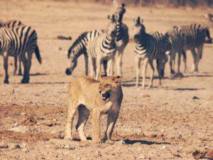 Fauchender Löwe mit Zebras im Hintergrund