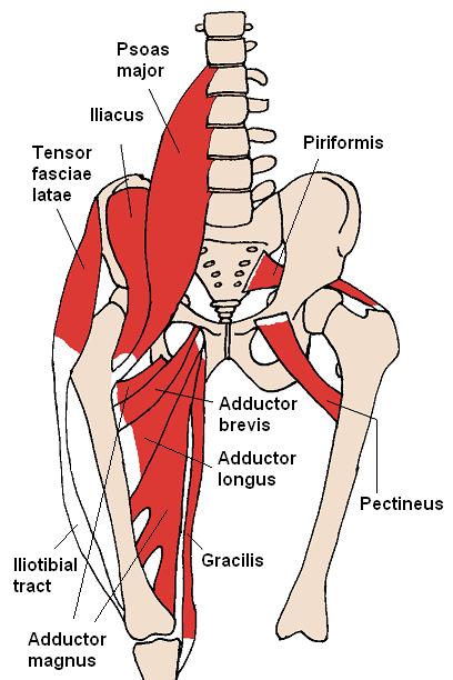 Anatomische Lage des Psoas-Muskel als schematische Darstellung.